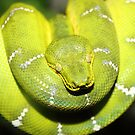 Emerald Tree Boa #1  by Carole-Anne