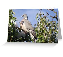 Wood pigeon in tree Greeting Card