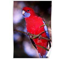 Crimson Rosella Poster