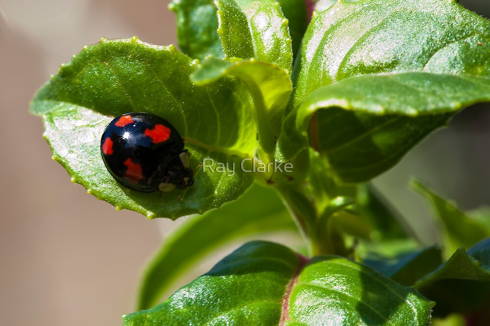 Harlequin ladybird by Ray Clarke