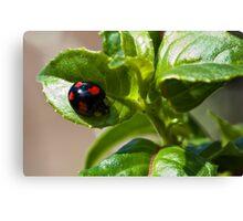 Harlequin ladybird Canvas Print