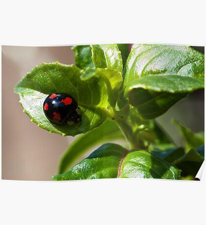 Harlequin ladybird Poster