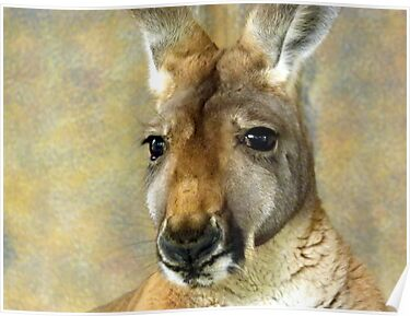Kangaroos Of Australia  by Angie66