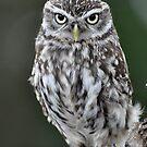 Little Owl by ApeArt
