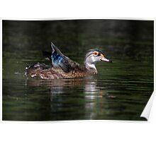 Non-Breeding Male Wood duck Poster