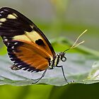 Tiger Longwing Butterfly by theriverrat