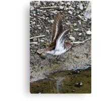 Common Sandpiper Canvas Print