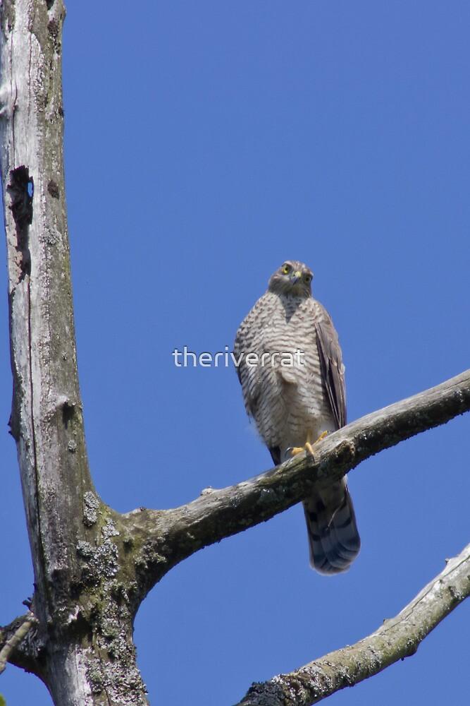 Sparrow Hawk by theriverrat