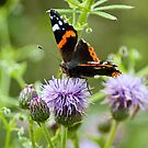 Red Admiral  by Jenny1611