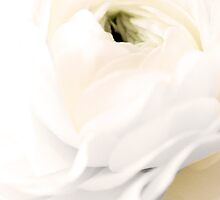 Purity - White Petals by Pollyhogg