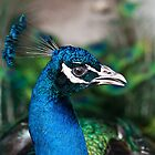 Portrait of a Peacock  by M-A-K