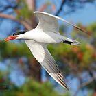 Caspian Tern by Todd Weeks