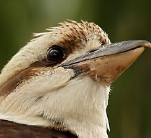 Kookaburra by Mark Hughes