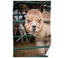 Llama with Attitude Poster