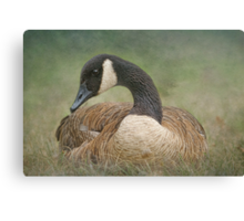 Canada's Canada Geese Canvas Print