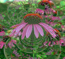 Coneflower (Echinacea) by kkphoto1
