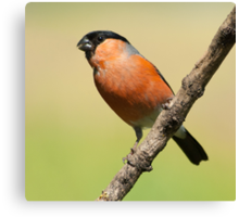 Bullfinch (male) Canvas Print