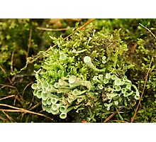Little cups of Cup Lichen  Photographic Print