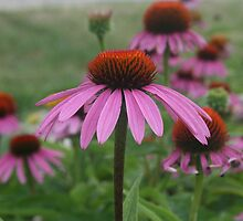 Dreamy Coneflowers by kkphoto1