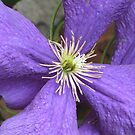 Clematis by orko
