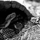 Snake in black & white by Lauren Neely