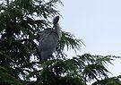 Heron  by Chris Goodwin