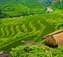 Rice Terraces. by bulljup