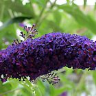 Butterfly Magnet - Buddleja Beauty by BlueMoonRose