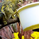 Hungry Marmoset by Lauren Neely