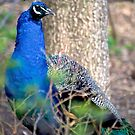 Male Peacock in Woods by Lauren Neely