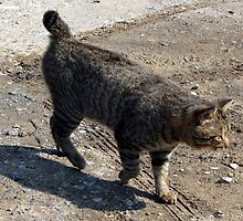 Awesome American Bobtail by felinefriends