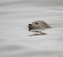 Harbour Seal - Bay of Fundy by Stephen Stephen