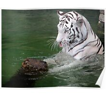 The Playful White Tiger Poster