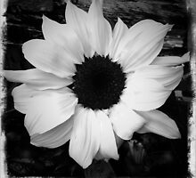 Plain and simple sunflower by Tibbs