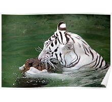 Playful White Tiger II Poster