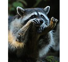 Raccoon Hanging Out on a Limb Photographic Print