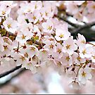 Japanese Cherry Blossoms III by Lauren Neely