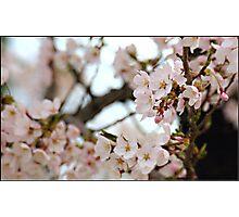Japanese Cherry Blossoms IV Photographic Print