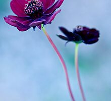 Chocolate Cosmos  by DIANE  FIFIELD