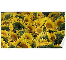 Yellow Sunflowers! Poster