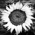 Colorless Sunflower by Scott Mitchell