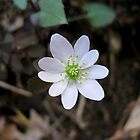 Rue Anemone, Wildflower by ChuckBuckner