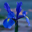 Iris by Melissa Seaback