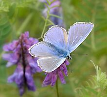Common Blue by Lifeware