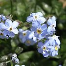 forget-me-not III by Floralynne