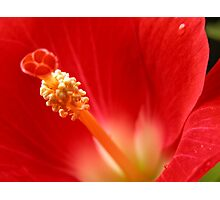 scepter for a Hibiscus Photographic Print