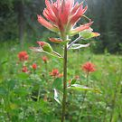 Indian Paintbrush  by Bulwarky