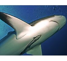 Reef Shark with Remora, Roatan Photographic Print