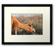 Camel #1... Framed Print