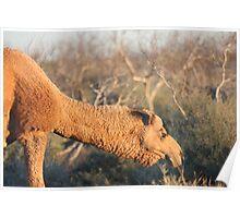 Camel #1... Poster